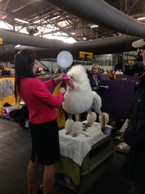 Dog Show handler giving poodle final touches before show begins