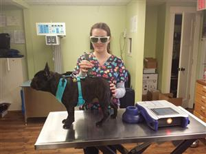 Ms. Massimo's student, Kelly Robrecht, interning at Animal Health & Wellness performing a laser procedure.